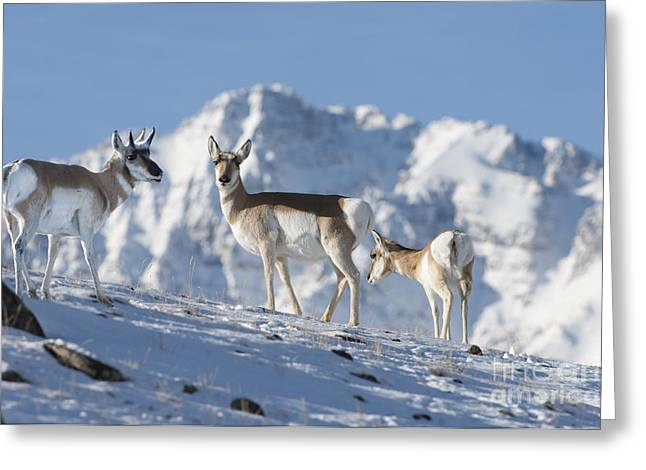 Wild Animals Greeting Cards - Montana Pronghorn Greeting Card by Wildlife Fine Art