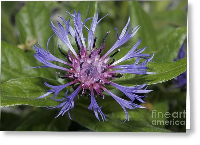 Centaurea Montana Greeting Cards - Montane Knapweed Greeting Card by Ludwig Werle