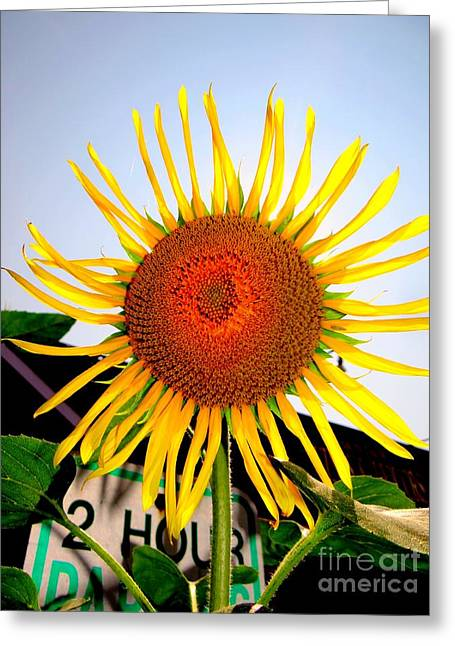 Yellow Sunflower Greeting Cards - Montauk Sunflower Greeting Card by Ed Weidman