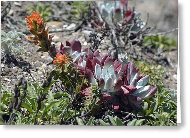 California Ocean Photography Greeting Cards - Monterey Indian Paintbrush and Ice Plant Greeting Card by Bruce Gourley