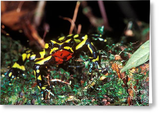 Critically Endangered Animal Greeting Cards - Monteverde Harlequin Frog Greeting Card by Gregory G. Dimijian, M.D.