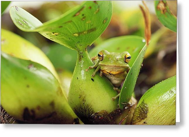 Tree Frog Greeting Cards - Montevideo Treefrog Hyla Pulchella Greeting Card by Claus Meyer