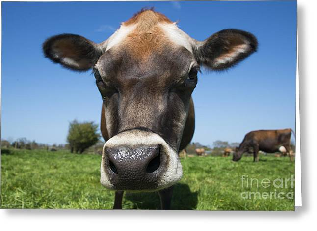 Funny Face Greeting Cards - Moo  Greeting Card by Rob Hawkins