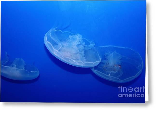 Snorkel Greeting Cards - Moon Jelly Fish 5D24936 Greeting Card by Wingsdomain Art and Photography
