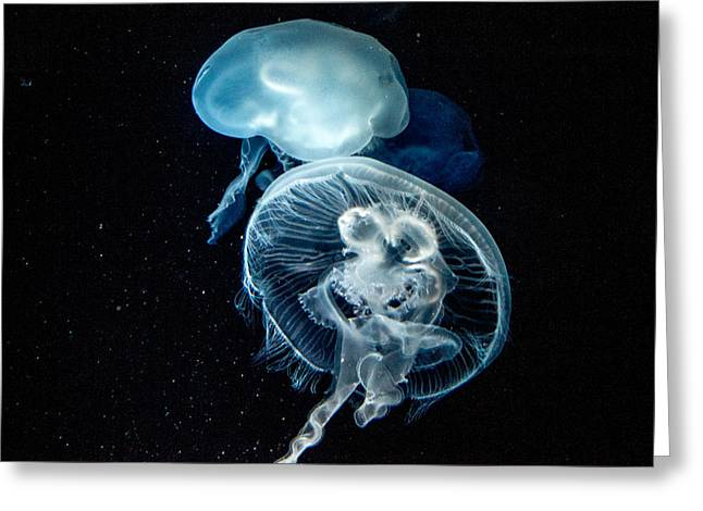 Tennessee Aquarium Greeting Cards - Moon Jellyfish 16 Greeting Card by Douglas Barnett