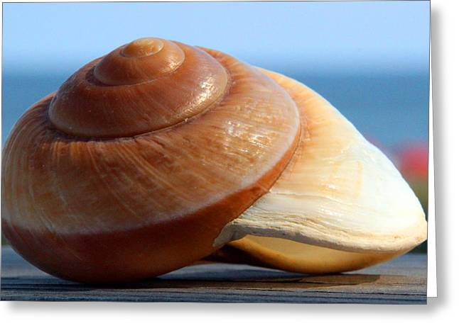Carolyn Stagger Cokley Greeting Cards - Moon Shell 3182 Greeting Card by Carolyn Stagger Cokley