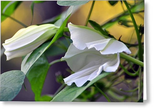 Moonflowers  Greeting Card by Gail Butler