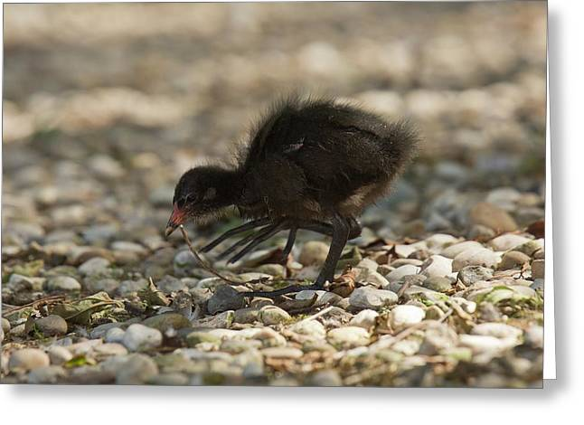 Moorhen Chick Greeting Card by Bob Gibbons