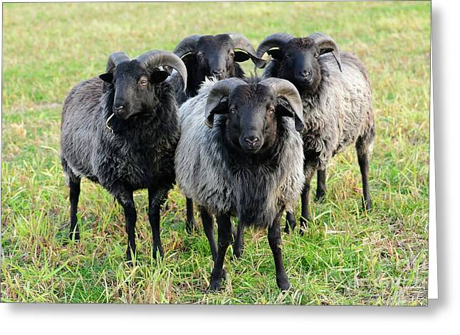 Staring Into Camera Greeting Cards - Moorland Sheep Greeting Card by Gisela Scheffbuch