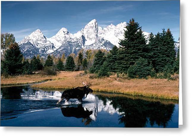 Snow Capped Greeting Cards - Moose & Beaver Pond Grand Teton Greeting Card by Panoramic Images