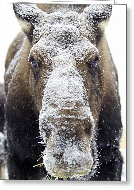 Cover The Face Greeting Cards - Moose Alces Alces Face Covered Greeting Card by Mark Newman
