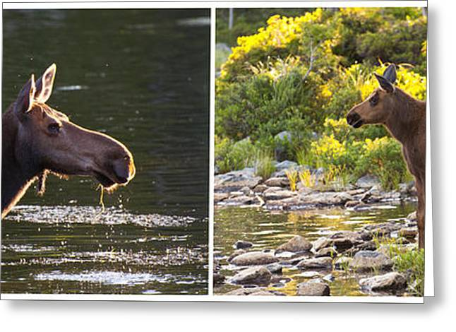 Alga Greeting Cards - Moose and Baby 5 Greeting Card by Glenn Gordon