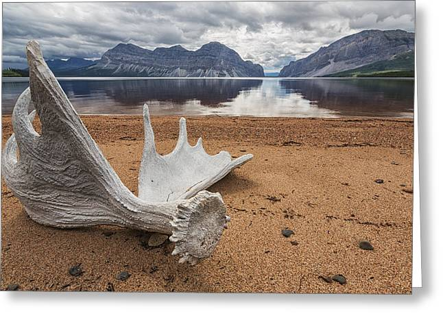 Ground Level Greeting Cards - Moose Antler Laying On The Shores Of Greeting Card by Robert Postma