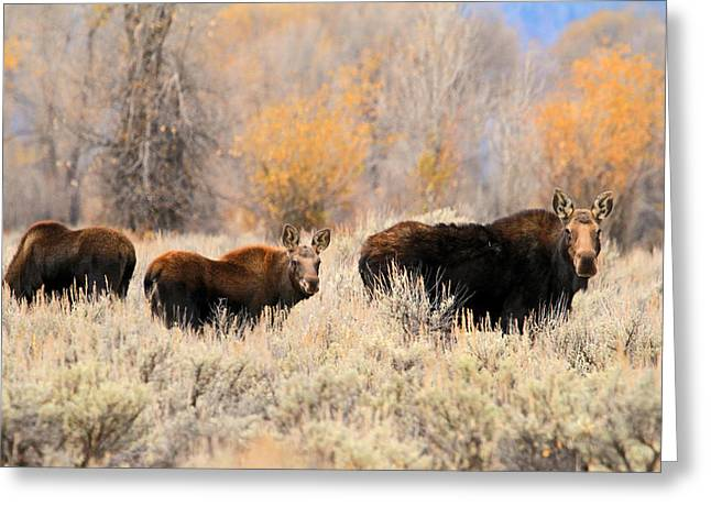 Fall Colors Greeting Cards - Moose Greeting Card by Donna Kennedy