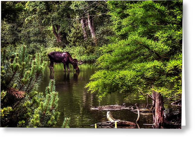 Bull Creek Greeting Cards - Moose Drinking from A Stream - The Netherlands Greeting Card by Mountain Dreams