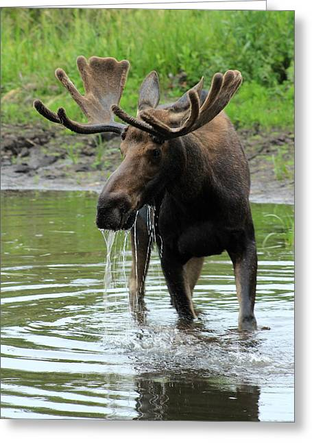 Moose Drool Greeting Cards - Moose Drool Greeting Card by Marin Packer