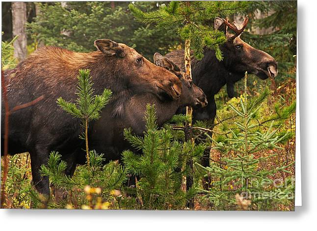 Stanza Widen Greeting Cards - Moose Family at the Shredded Pine Greeting Card by Stanza Widen