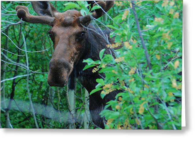 Moose In The Campsite Greeting Card by Bob ODean