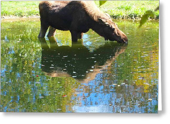 Moose In Water Greeting Cards - Moose Reflection Greeting Card by Dan Sproul