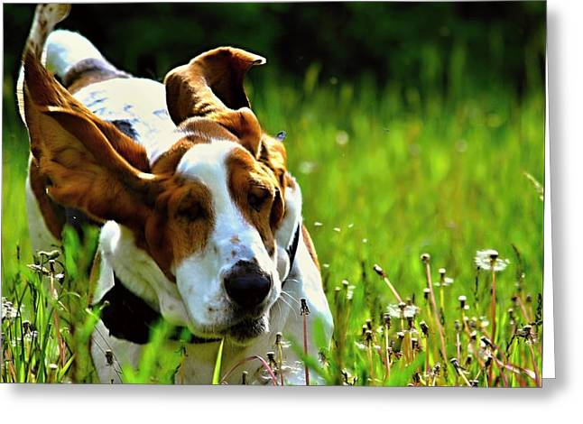 Basset Hound Greeting Cards Greeting Cards - Basset Hound running  2 Greeting Card by Marysue Ryan