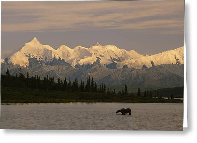 Denali National Park Greeting Cards - Moose Standing On A Frozen Lake, Wonder Greeting Card by Panoramic Images