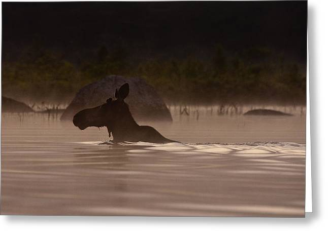 Scene Greeting Cards - Moose Swim Greeting Card by Brent L Ander