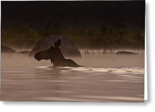 Moose Swim Greeting Card by Brent L Ander