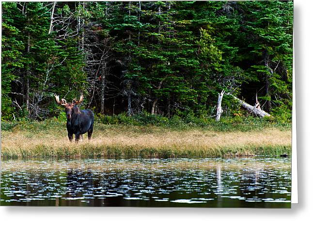 Fir Trees Greeting Cards - Moose Greeting Card by Ulrich Schade