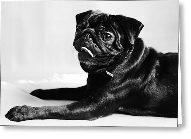 Tiere Greeting Cards - Mops Greeting Card by Falko Follert
