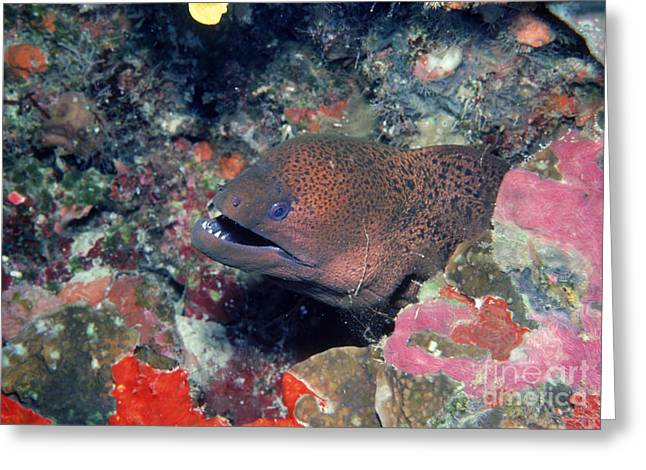 Apo Greeting Cards - Moray Eel Greeting Card by Gregory G. Dimijian, M.D.