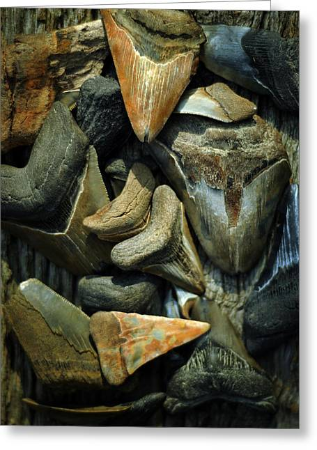 White Shark Photographs Greeting Cards - More Megalodon Teeth Greeting Card by Rebecca Sherman