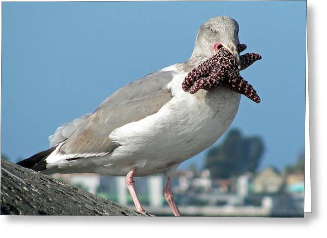 Santa Cruz Pier Greeting Cards - More Than He Can Chew  Greeting Card by Deana Glenz
