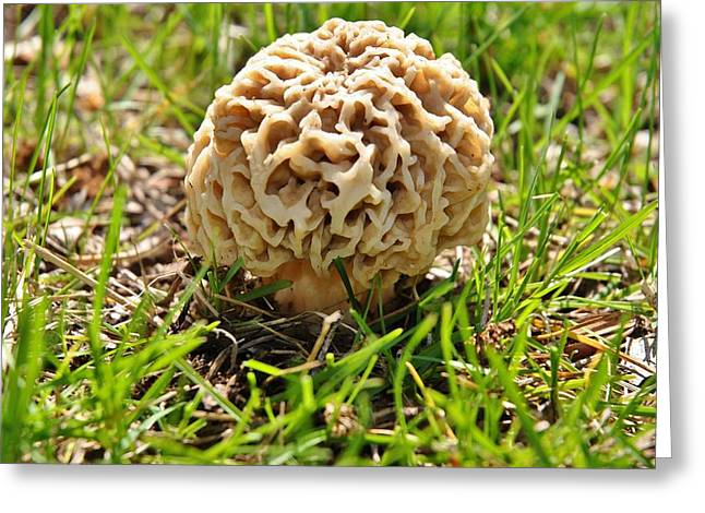 Hunting Cap Greeting Cards - Morel Mushroom 2 Greeting Card by Todd and candice Dailey