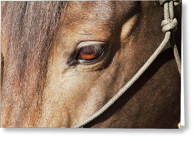 Morgan Horse Close-up At Stall Greeting Card by Piperanne Worcester