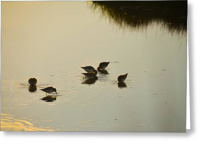 Sand Piper Greeting Cards - Morning Bath Greeting Card by Bill Cannon