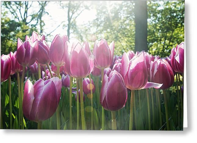 Keukenhof Gardens Greeting Cards - Morning Blooms Greeting Card by Ryan Wyckoff