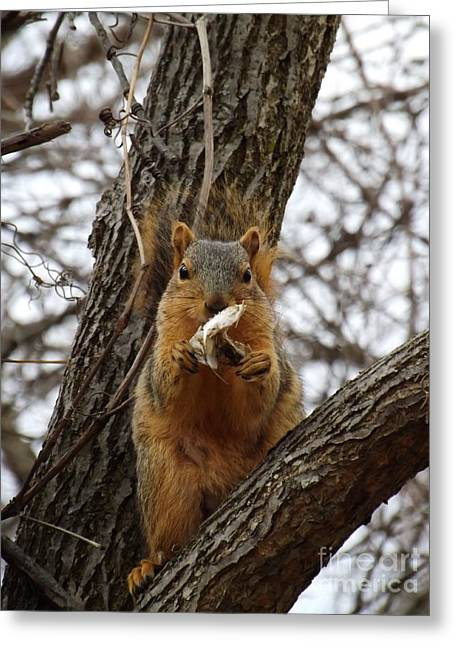 Fox Squirrel Greeting Cards - Morning Breakfast Fox Squirrel Greeting Card by Sara  Raber