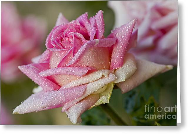 Boren Greeting Cards - Morning Dew Greeting Card by Nick  Boren