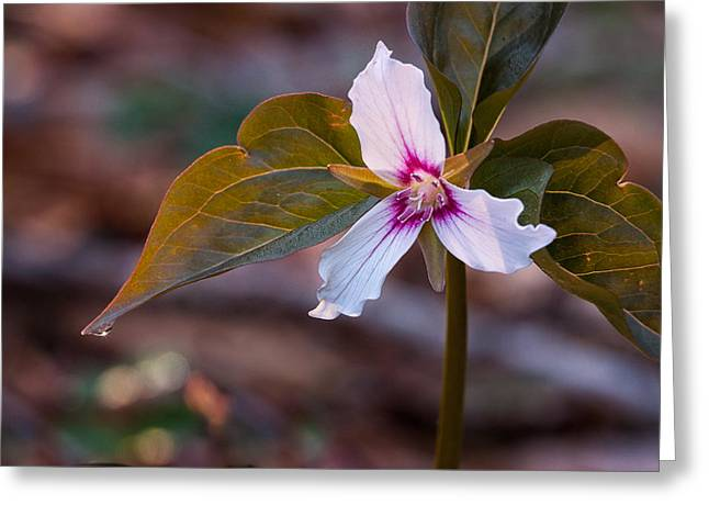 Forest Floor Greeting Cards - Morning Dew On Painted Trillium Greeting Card by Jeff Sinon