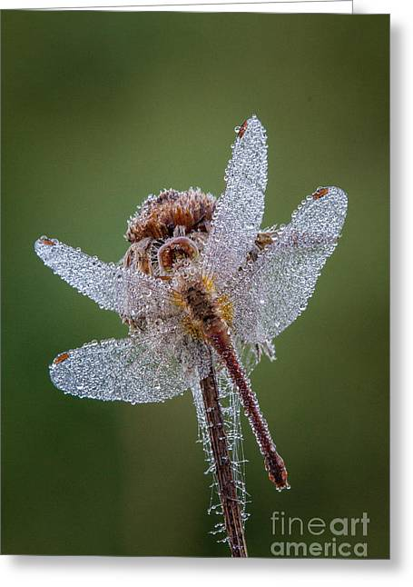 Dew Covered Greeting Cards - Morning Dragonfly Greeting Card by Todd Bielby