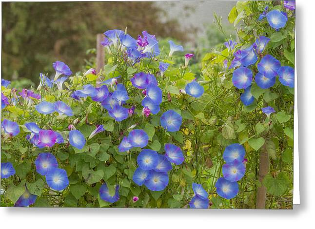 Morning Glories Greeting Cards - Morning Glory  Greeting Card by Kim Hojnacki