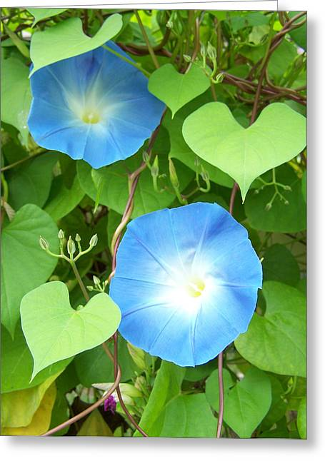 Noreen Hacohen Greeting Cards - Morning Glory Greeting Card by Noreen HaCohen