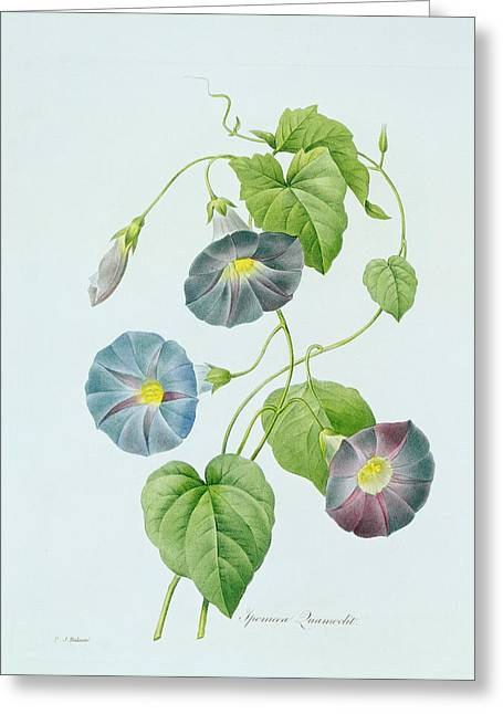 Color Glory Greeting Cards - Morning Glory Greeting Card by Pierre Joseph Redoute