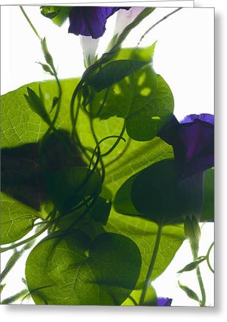 Morning Glories Greeting Cards - Morning Glory Rising Greeting Card by Julia McLemore