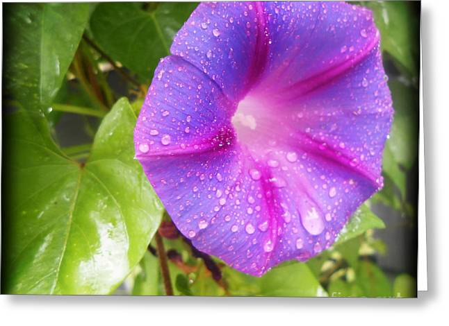 Greeting Cards - Morning Glory Tears Greeting Card by Eva Thomas