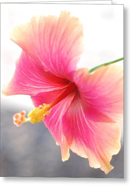 Hibiscus Coast Greeting Cards - Morning Hibiscus in Gentle Light - Square Macro Greeting Card by Connie Fox