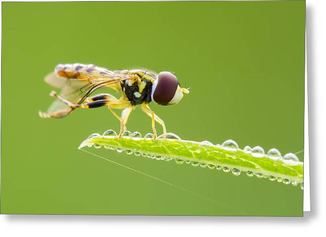 Dewdrops Greeting Cards - Morning Hoverfly Greeting Card by Mircea Costina Photography
