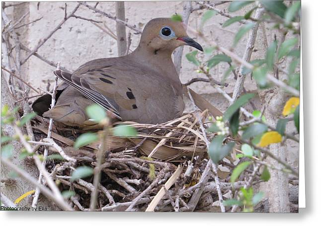 Morning Dove Photograph Greeting Cards - Morning Mom Call to Duty Greeting Card by Ella Kaye Dickey