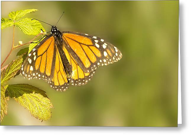 Lush Green Digital Greeting Cards - Morning Monarch Glow Greeting Card by Bill Tiepelman