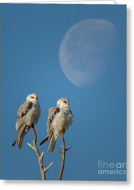 Morning Moon Over Kites Greeting Card by Kim Michaels